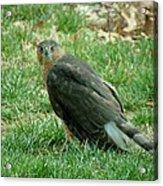 Hawk On The Grass Acrylic Print