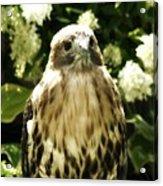 Hawk Portrait Acrylic Print