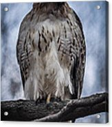 Hawk Red Tailed Acrylic Print