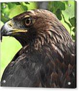 Hawk Scouting Acrylic Print