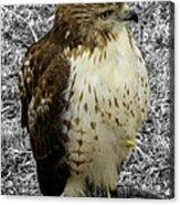 Hawk V3c Acrylic Print