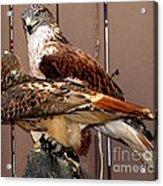 Hawks Acrylic Print