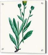 Hawkweed Chicory Plant 19th Century Acrylic Print