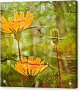 Hawkweed Wildflower Acrylic Print
