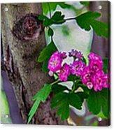 Hawthorn Romance Acrylic Print