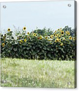 Hay Bales And Sunflowers Acrylic Print