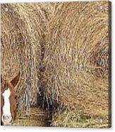 Hay Horse Acrylic Print