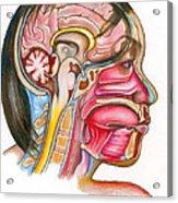 Head And Neck Anatomy Acrylic Print