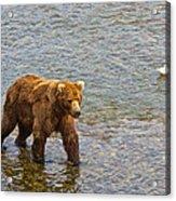 Head Grizzly Bear And Sea Gull In Moraine River In Katmai Np-ak  Acrylic Print