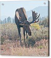 Head Lowered Bull Moose Acrylic Print