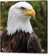 Head Of A Male American Bald Eagle Acrylic Print