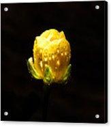 Head Of A Rose Acrylic Print by Sarah Crites