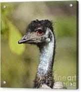 Head Of An Australian Emu Acrylic Print