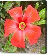 Head On Shot Of A Red Tropical Hibiscus Flower Acrylic Print