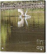 Headless Snowy Egret Of Rum Creek Acrylic Print