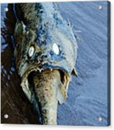 Heads Or Tails Acrylic Print