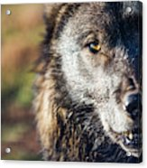 Headshot Of Wolf, Rapid City, South Acrylic Print