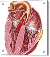 Heart Anatomy, Artwork Acrylic Print by Science Photo Library