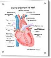 Heart Anatomy Acrylic Print