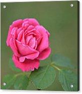 Heart Of My Heart Rose Acrylic Print