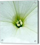 Heart Of The Petunia Acrylic Print