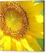 Heart Of The Sunflower Acrylic Print