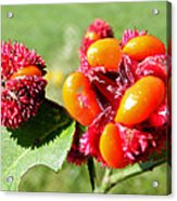 Hearts-a-bursting Seed Pods Acrylic Print by Duane McCullough
