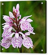 Heath Spotted Orchid Acrylic Print