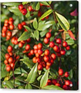 Heavenly Bamboo Red Berries Acrylic Print