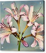 Heavenly Lilies Acrylic Print