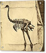 Heavy Footed Moa Skeleton Acrylic Print