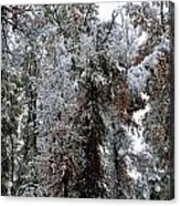 Heavy Snow On Fall Trees Acrylic Print