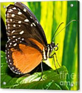 Hecale Longwing Butterfly Acrylic Print