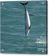 Hector Dolphin Diving Acrylic Print