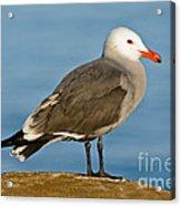 Heermanns Gull On Rock Acrylic Print