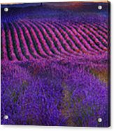 Height Of The Bloom Rolling Lavender Fields Acrylic Print