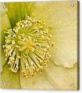 Heleborus 2 Acrylic Print