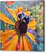 Helenium Bumble Bee Acrylic Print