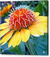 Helenium Flowers 2 Acrylic Print