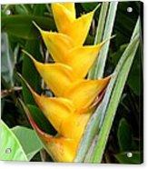 Heliconia Caribea Acrylic Print