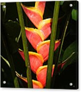 heliconia from Costa Rica 8 Acrylic Print