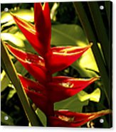 Heliconia II Acrylic Print