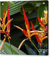 Heliconia Psitacorum Acrylic Print