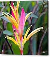 Heliconia Psittacorum Acrylic Print