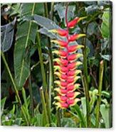 Heliconia Rostata Acrylic Print