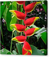 Heliconia Rostrata 2 - A Blooming Heliconia Rostrata Flower Acrylic Print