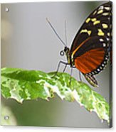 Heliconius Butterfly On Green Leaf Acrylic Print