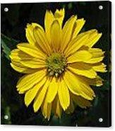 Heliopsis Summer Sun Acrylic Print