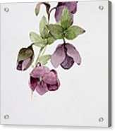 Helleborus Atrorubens Acrylic Print by Sarah Creswell