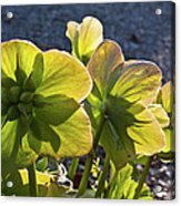 Helleborus Backlight Blossoms 2 Acrylic Print
